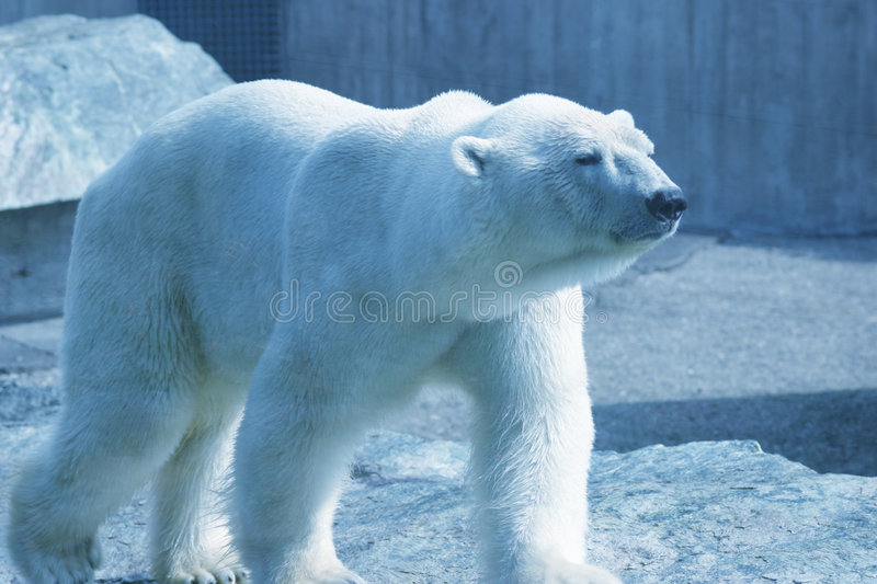 Walking polar bear royalty free stock images