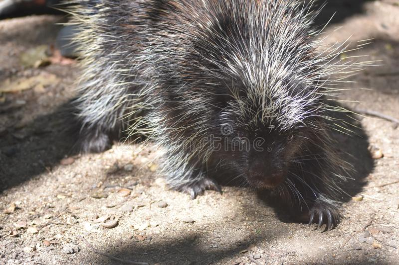 Black and white porcupine with large sharp claws royalty free stock photo