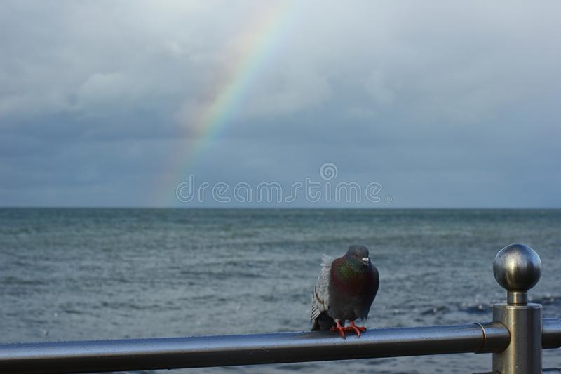 Alone frozen dove on the sea railing. Walking in rainy day at sea coast and watching birds royalty free stock photos