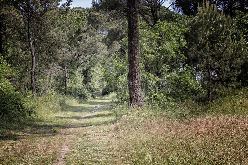 Walking road in the pinewood forest near Marina Romea royalty free stock photography