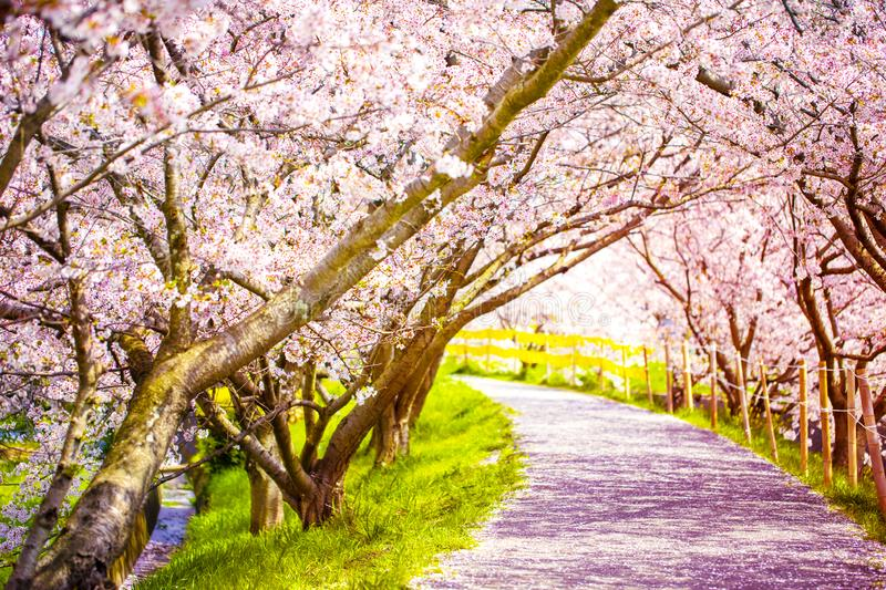 A walking road under the beautiful sakura tree or cherry tree tunnel royalty free stock photography