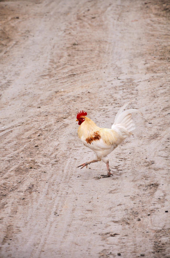 Download Walking Rooster Royalty Free Stock Photo - Image: 25061585