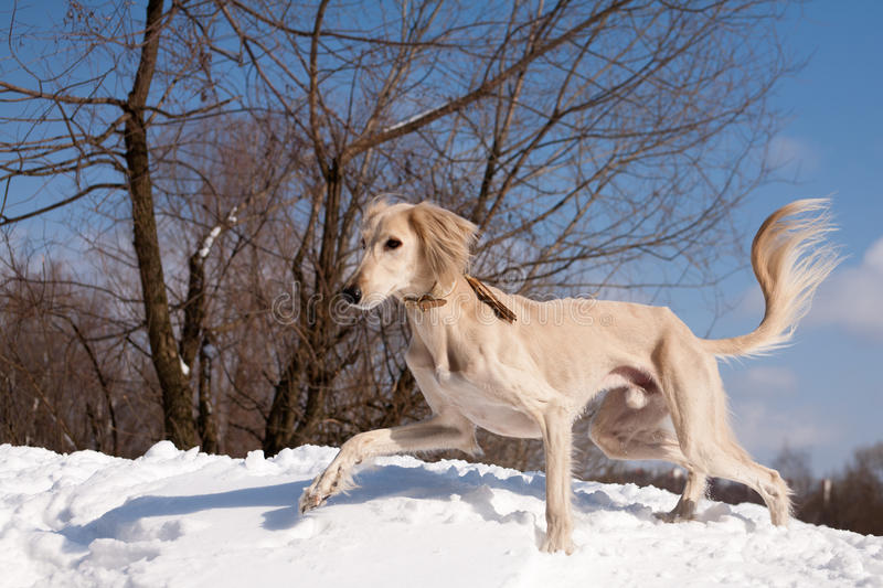 Walking saluki. A standing white saluki on snow under blue sky stock images