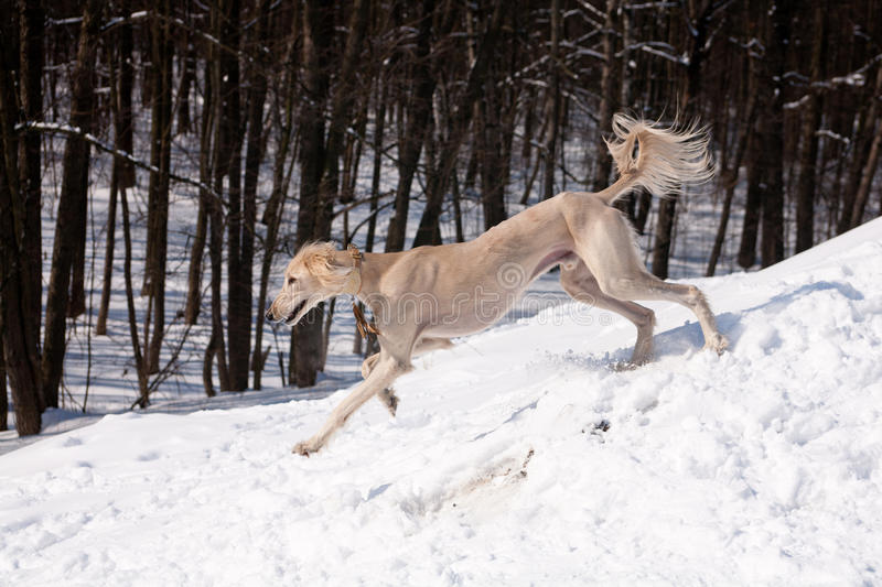 Walking saluki. A standing white saluki on snow stock photo