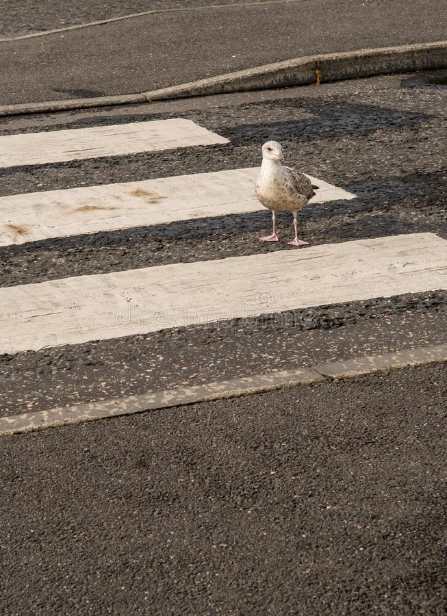 Walking Seagull On Crosswalk Over Street royalty free stock images