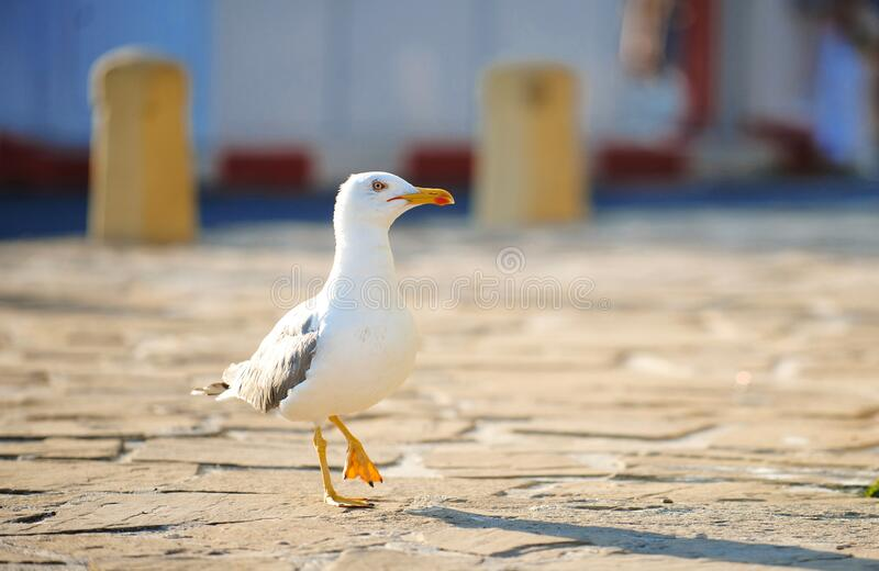 Walking seagull in street stock photography