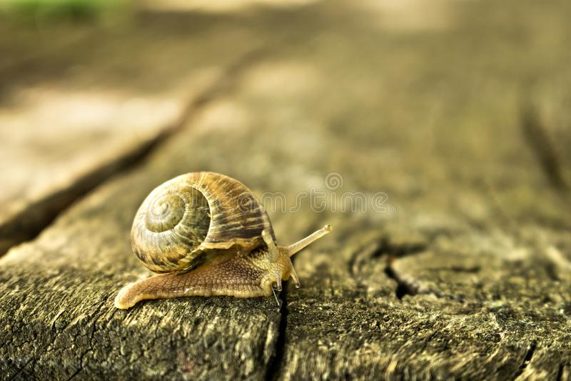 Walking Snail stock images
