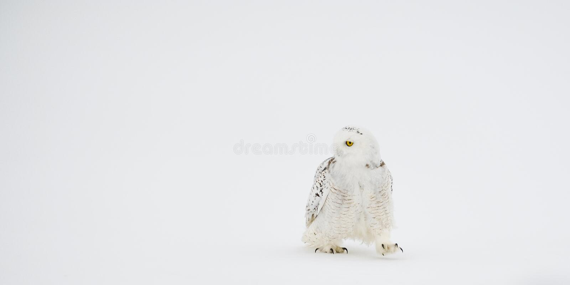 Walking Snowy Owl stock photos