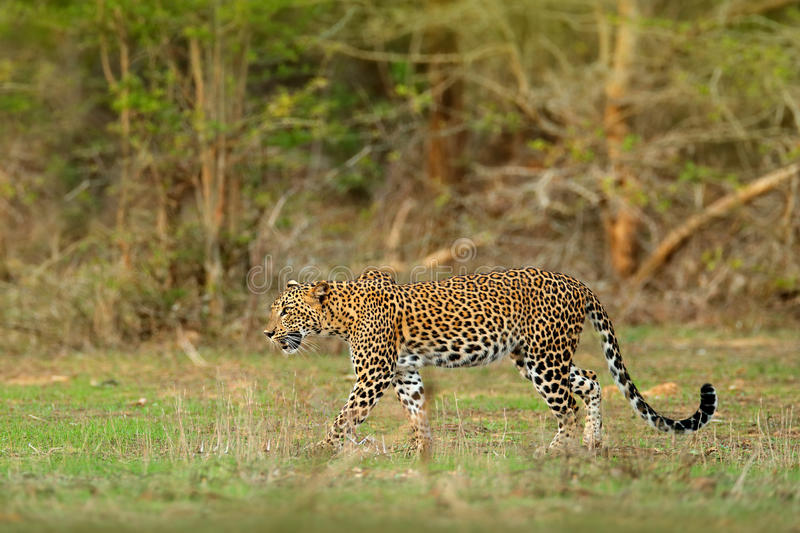Walking Sri Lankan leopard, Panthera pardus kotiya, Big spotted wild cat lying on the tree in the nature habitat, Yala national pa royalty free stock photo
