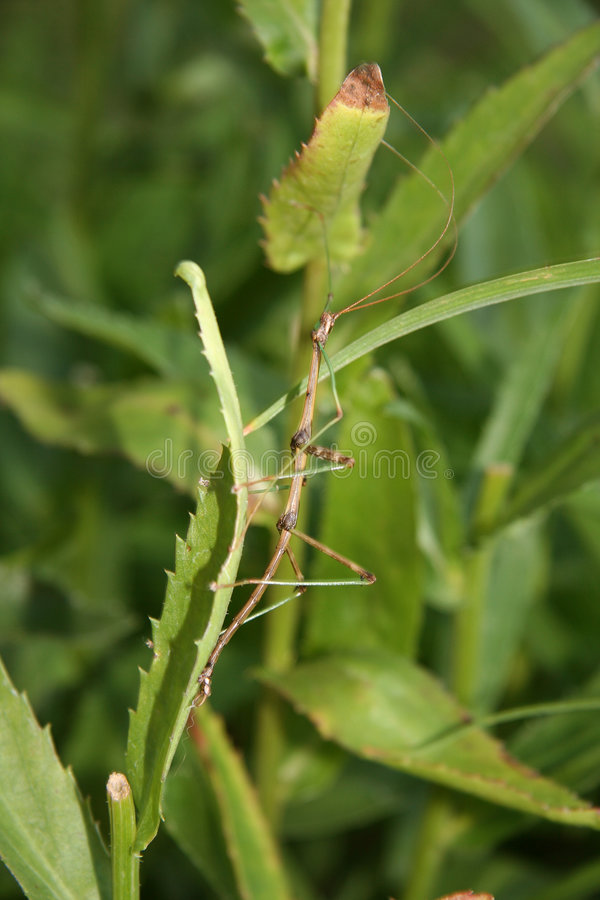 Walking stick 3. A walking stick on a daisy leaf royalty free stock photo