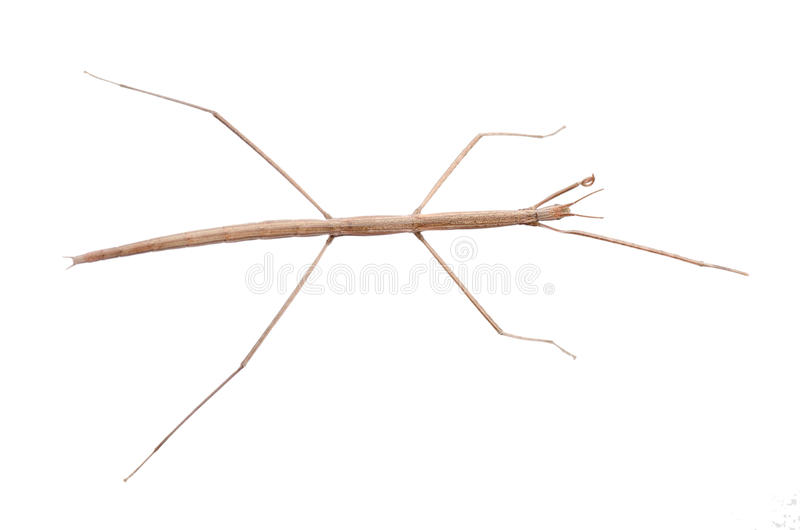 Walking stick bug. Insect walking stick bug isolated on white stock photo