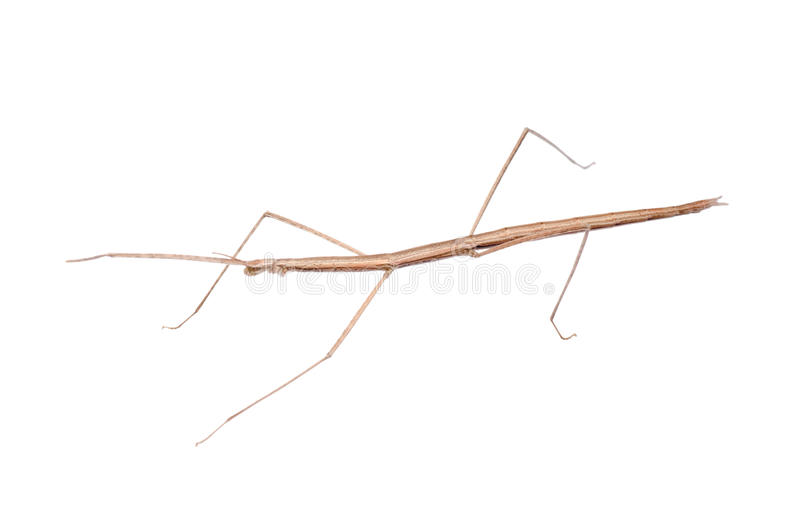 Walking stick bug. Insect walking stick bug isolated on white royalty free stock photography