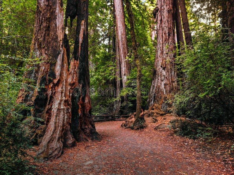 Walking among the tall coastal redwood trees royalty free stock image
