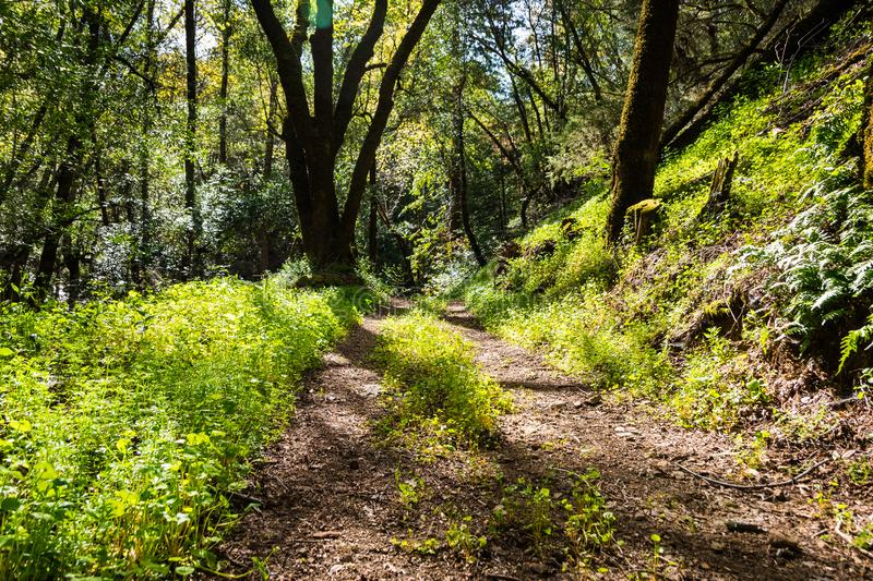 Walking trail through the forests of Uvas Canyon County Park, green Miner's Lettuce covering the ground, Santa Clara county,. California stock photography