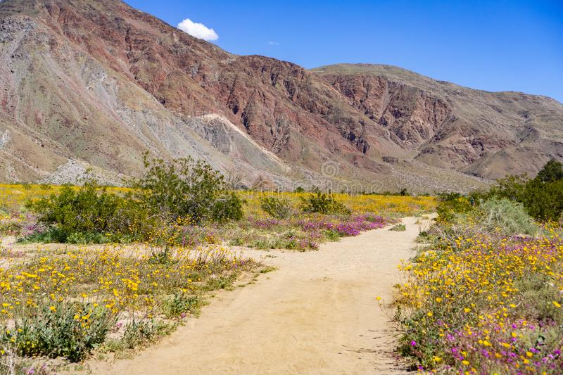 Walking trail lined up with blooming desert sunflowers Geraea canescens and sand verbena Abronia Villosa in Anza Borrego stock images