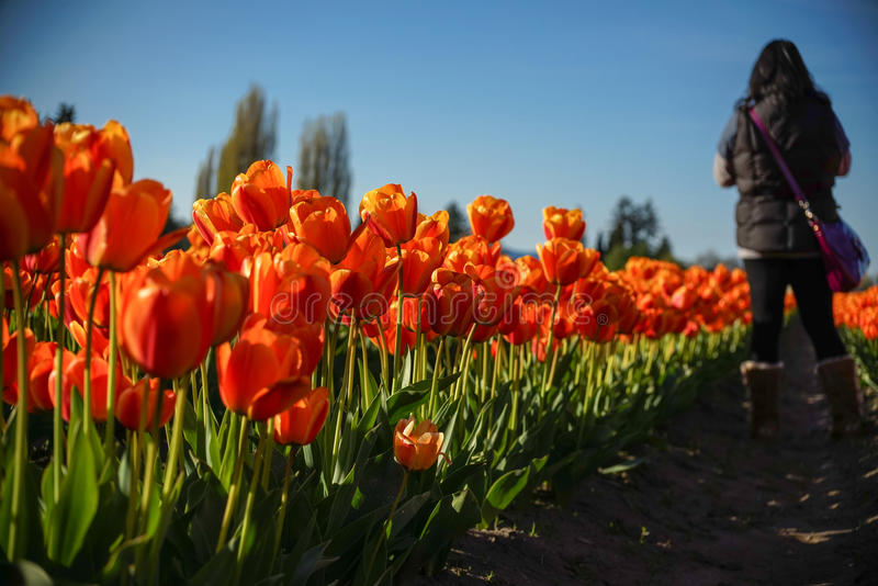 Walking through the tulip row royalty free stock images