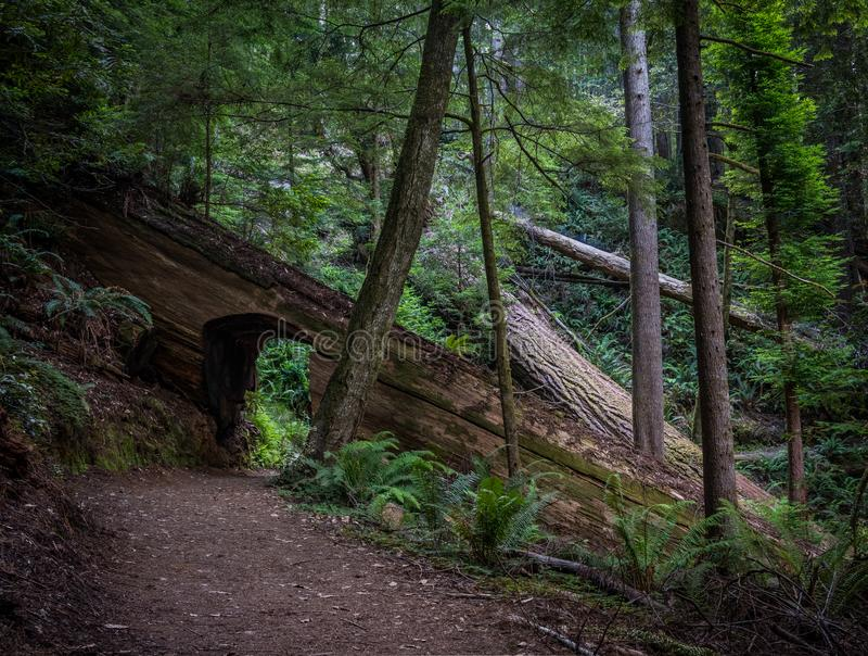 Walking Tunnel Through Redwood Tree stock images