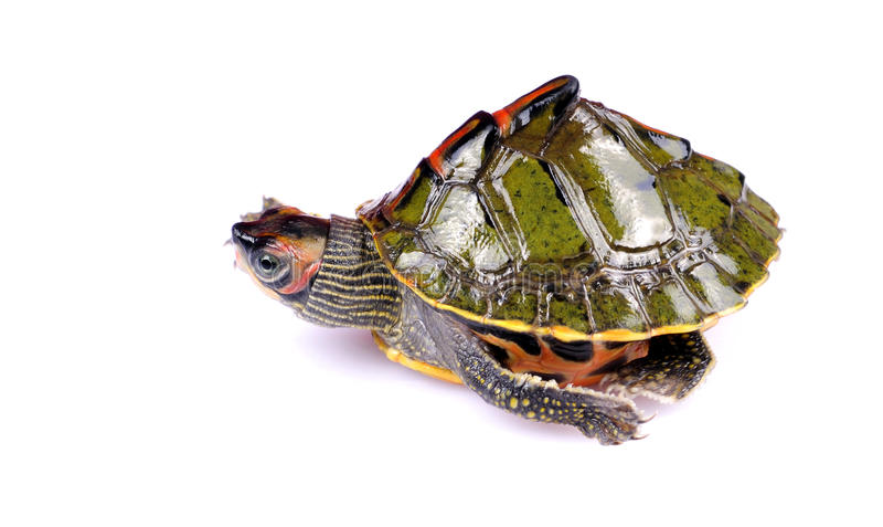 Walking Turtle Stock Images
