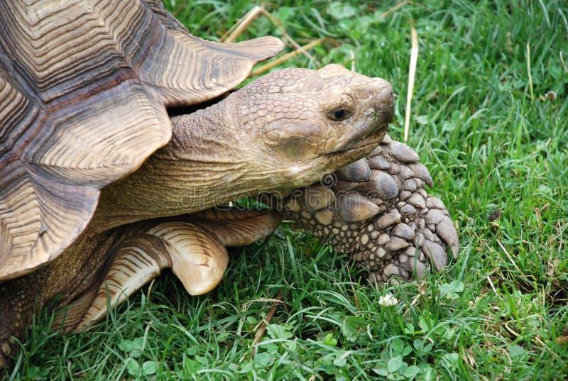 Walking Turtle stock photography