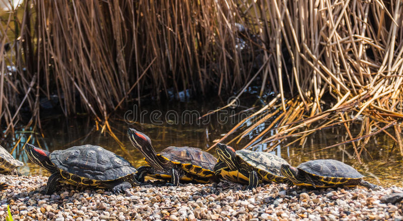 Walking turtles. Turtle promenade in sunny afternoon stock photography