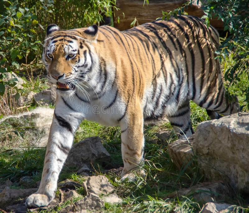 Walking ussurian tiger stock images