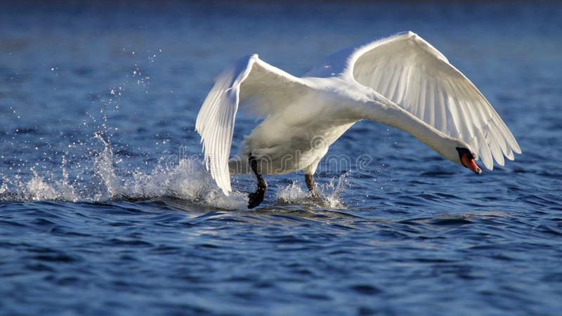 Walking on Water. A mute swan Cygnus olor taking off from a blue lake