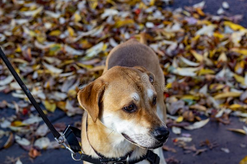 Walking a well trained dog in the fall through the park stock images