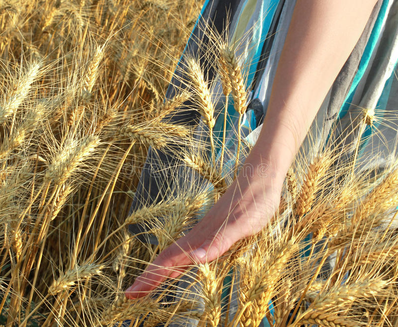 Download Walking on the wheat land stock image. Image of food - 26070751