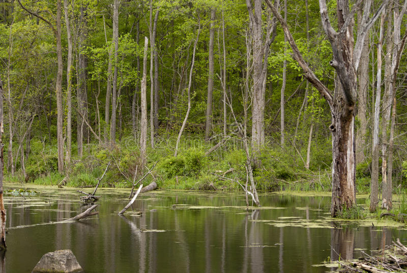 Walking through the woods royalty free stock image
