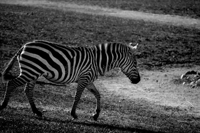 Zebra black and white stock photo