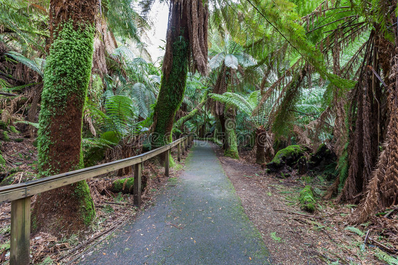 Walkway among ferns in rainforest towards Russell Falls, Tasmania stock photography
