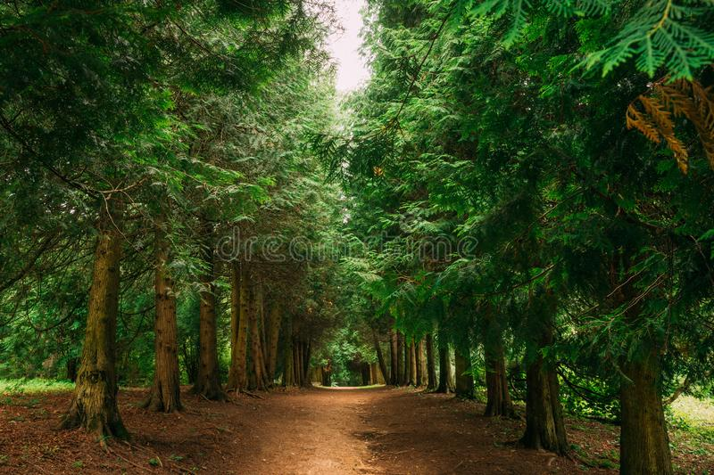 Walkway Lane Path Through Green Thuja Coniferous Trees In Forest. Beautiful Alley, Road In Park. Pathway, Natural Tunnel, Way Through Summer Forest. Thuja Is A stock photo