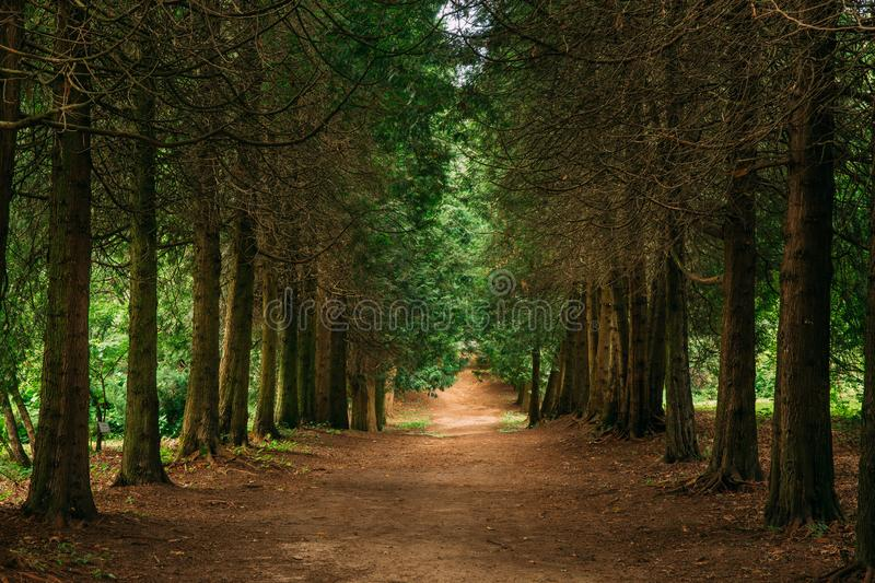 Walkway Lane Path Through Green Thuja Coniferous Trees In Forest. Beautiful Alley, Road In Park. Pathway, Natural Tunnel, Way Through Summer Forest. Thuja Is A stock image