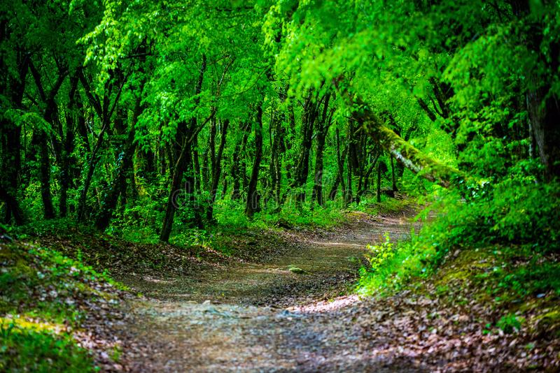 Walkway Lane Path With Green Trees in Forest. Beautiful Alley, road In Park. Way Through Summer Forest stock images