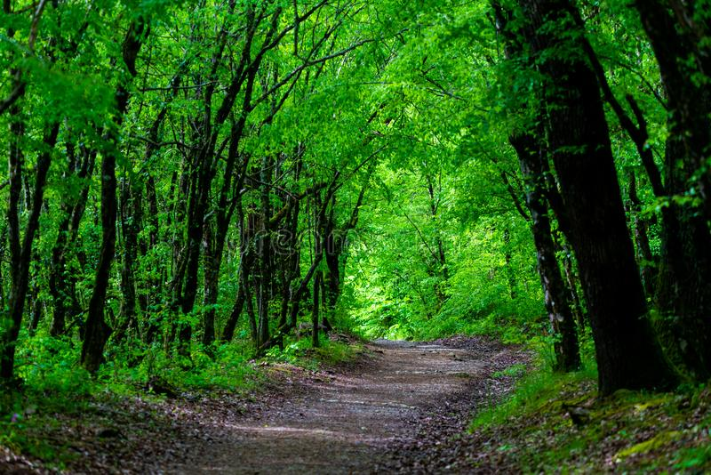 Walkway Lane Path With Green Trees in Forest. Beautiful Alley, road In Park. Way Through Summer Forest royalty free stock image