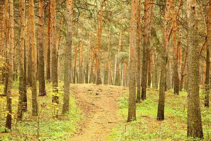 Walkway in morning autumn pinewood stock photography