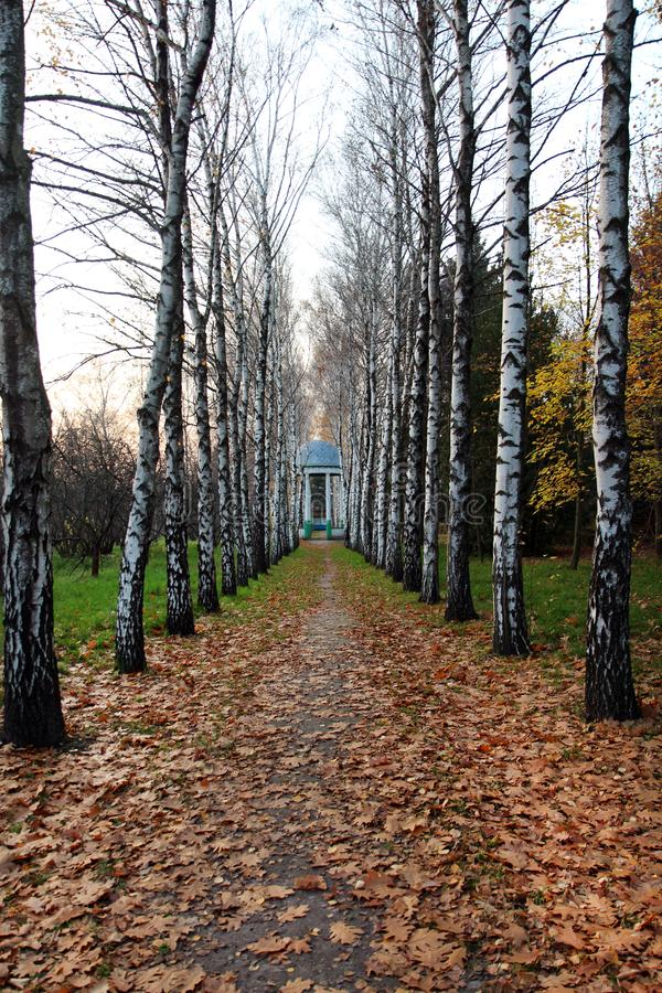 Walkway strewn with dry foliage with birches along the edges. Outdoors, outside royalty free stock image