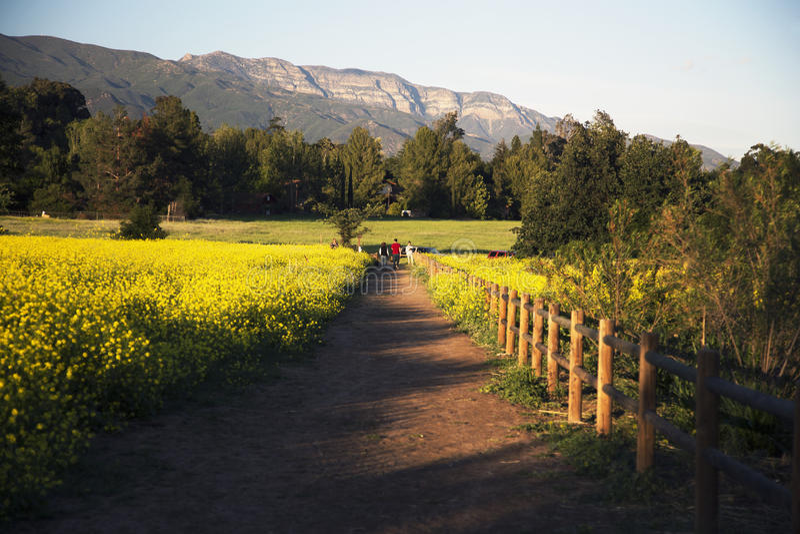 Walkway through yellow mustard toward Topa Topa mountains in spring, Ojai, California, USA stock photo