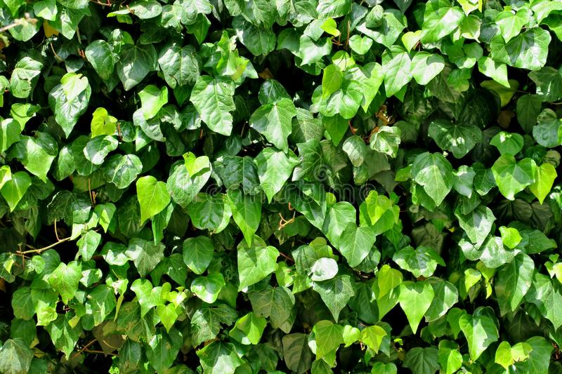 Wall of a beautiful bright green plant royalty free stock photos