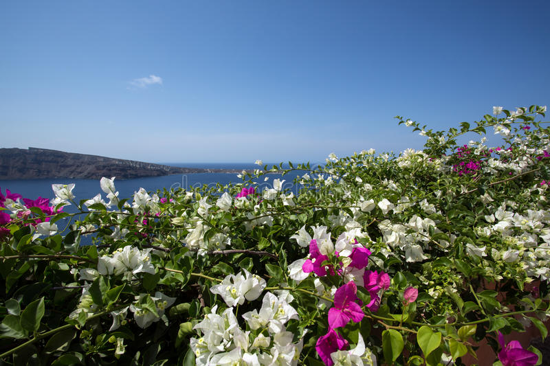 Wall of bourgainillea, Santorini royalty free stock images