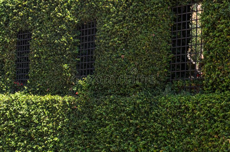 The wall of the building with bars on the windows twined with wild ivy.  royalty free stock image