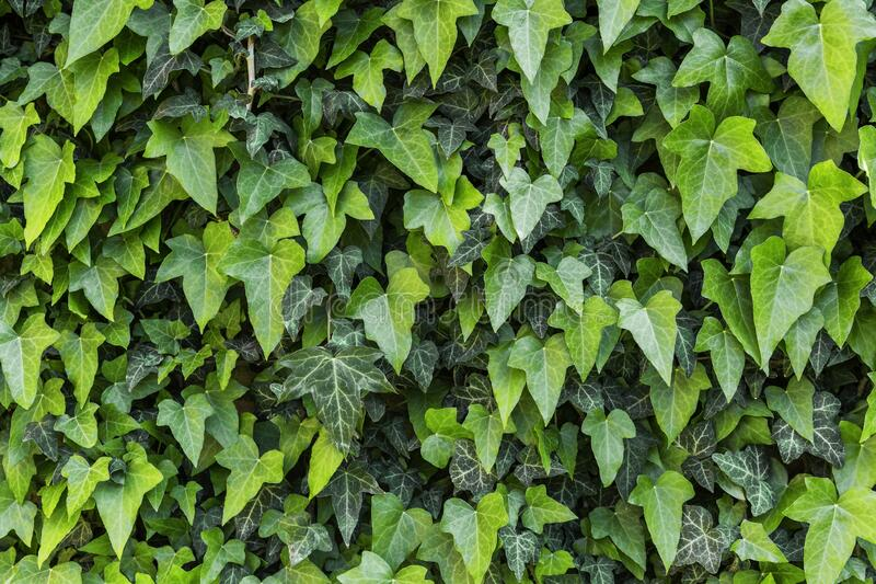 A wall of common ivy stock photography