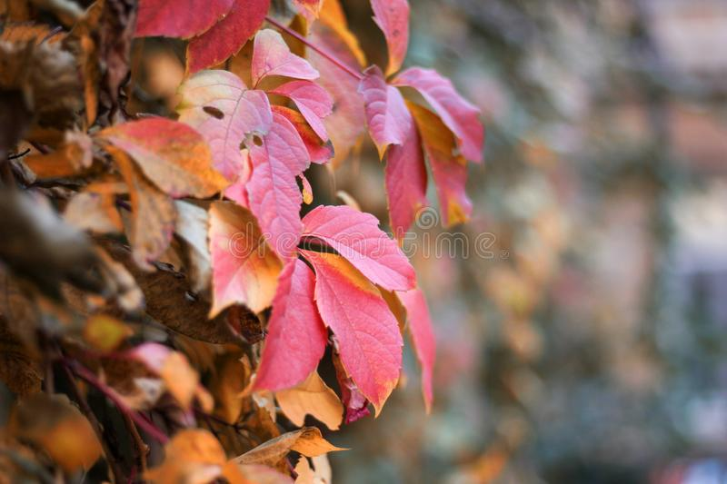 Wall covered in Boston Ivy leaves in fall foliage colors of red, green, yellow, gold, brown, maroon. Close-up on a blurred background royalty free stock photo