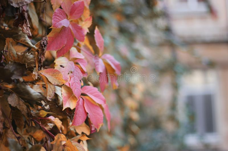 Wall covered in Boston Ivy leaves in fall foliage colors of red, green, yellow, gold, brown, maroon. Close-up on a blurred background stock photography