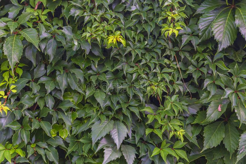 Wall covered with different climbing plants. Textures royalty free stock images