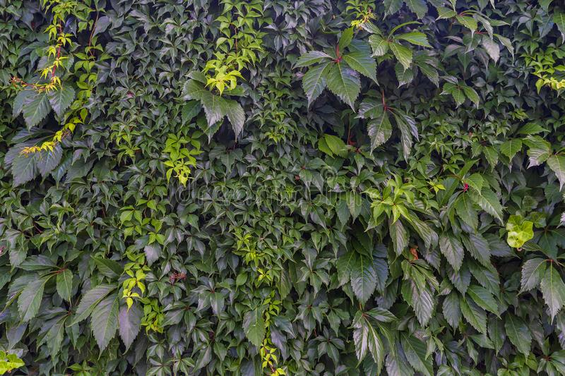 Wall covered with different climbing plants. Textures royalty free stock photography