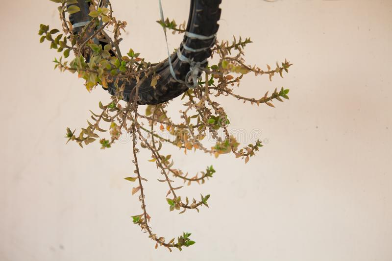 A wall creeper planted in a bicycle tyre stock images
