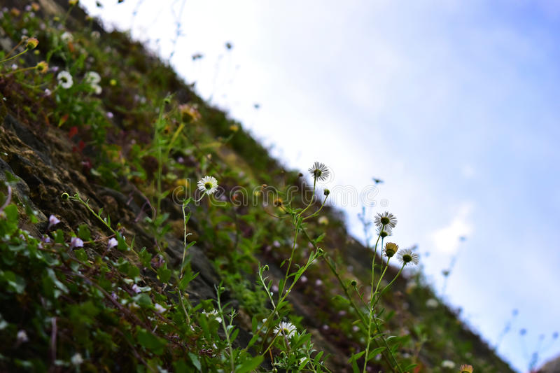 Wall of daisies with a blue sky royalty free stock photo