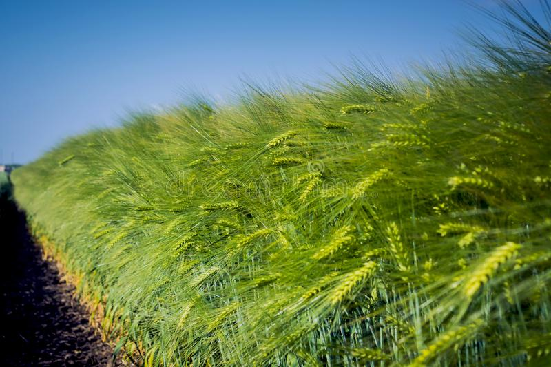 Wall of ears, clean from diseases, insects and weeds, brewing barley on long stems against the blue sky stock photo