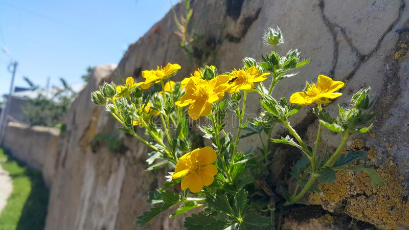 On the wall in the fence grew green beautiful plants and yellow flowers. Pure beauty and environmental friendliness, on the wall in the fence grew green stock photos